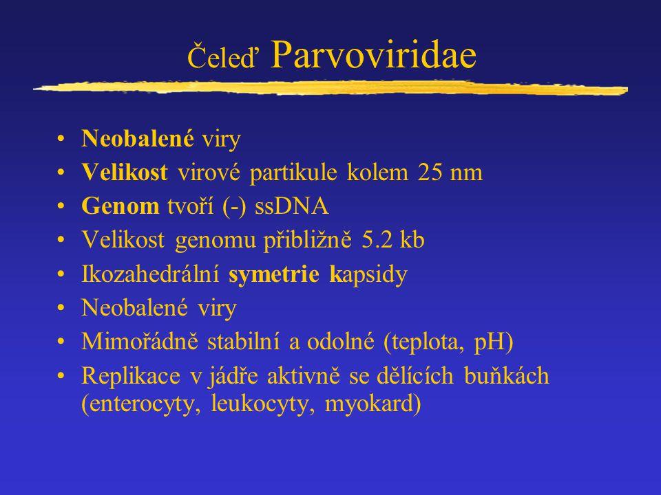 Čeleď Parvoviridae Neobalené viry