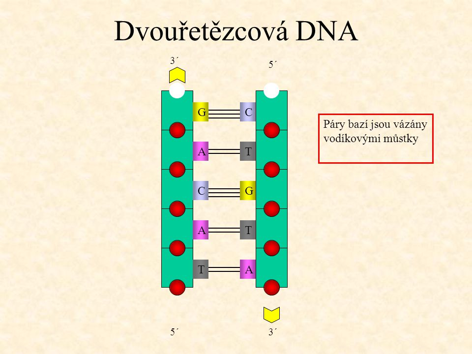 Dvouřetězcová DNA G C Páry bazí jsou vázány vodíkovými můstky A T C G