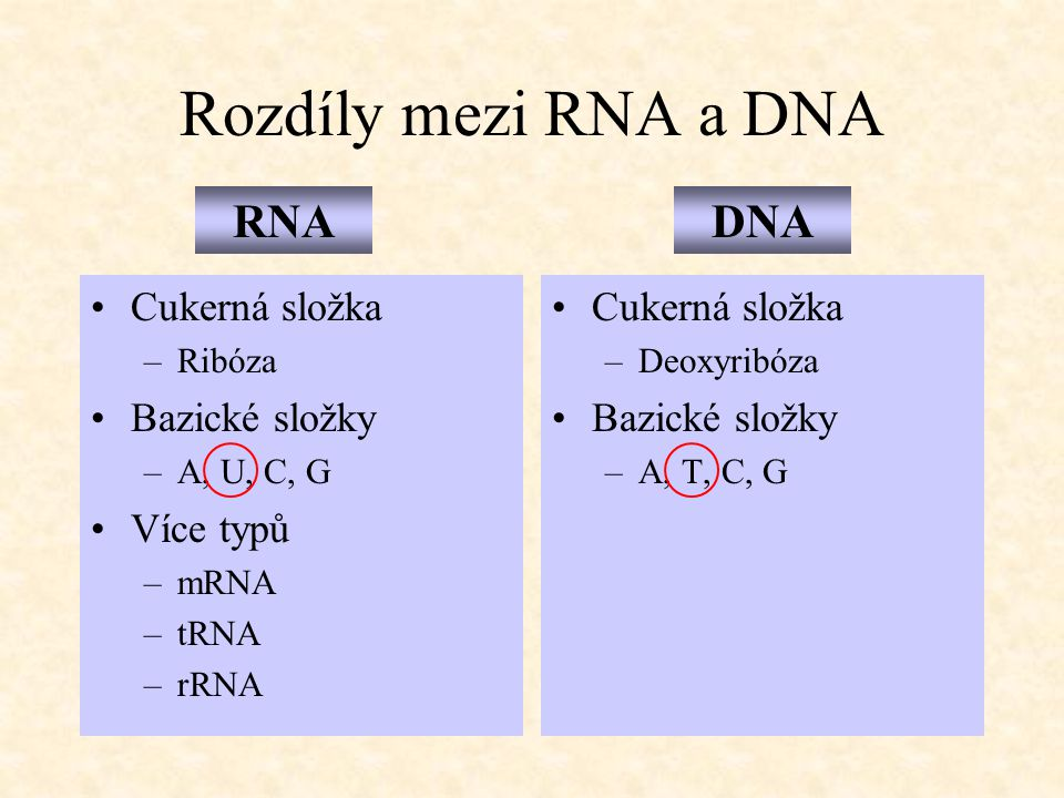 Rozdíly mezi RNA a DNA RNA DNA Cukerná složka Bazické složky Více typů