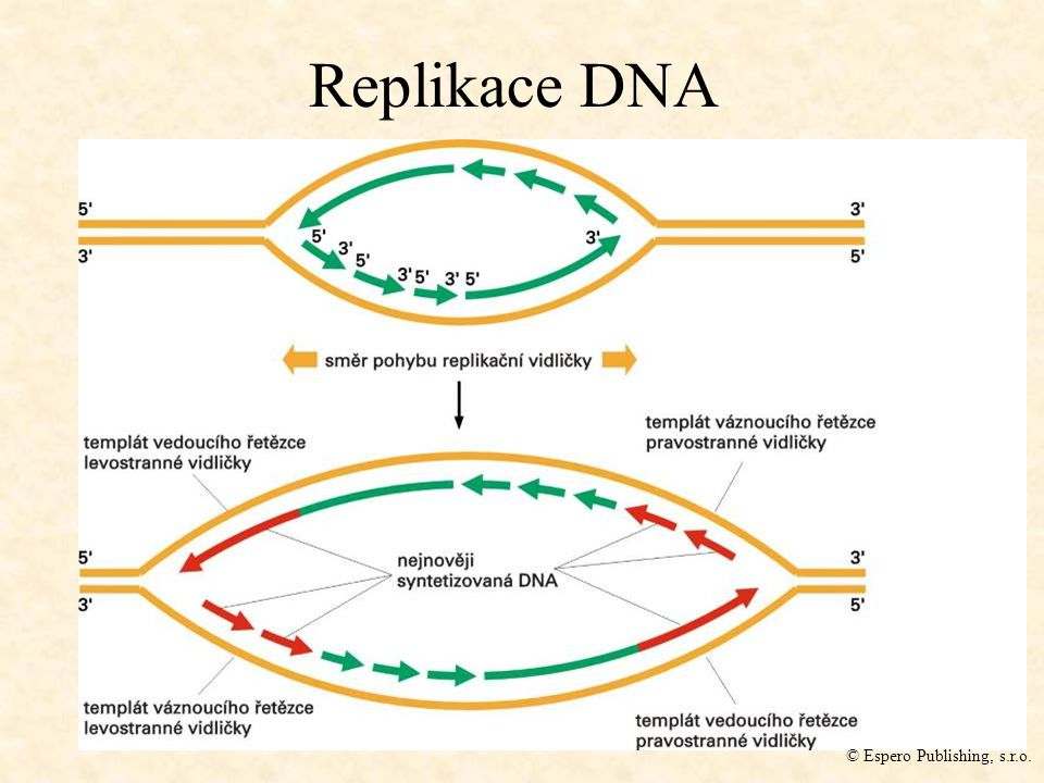 Replikace DNA © Espero Publishing, s.r.o.
