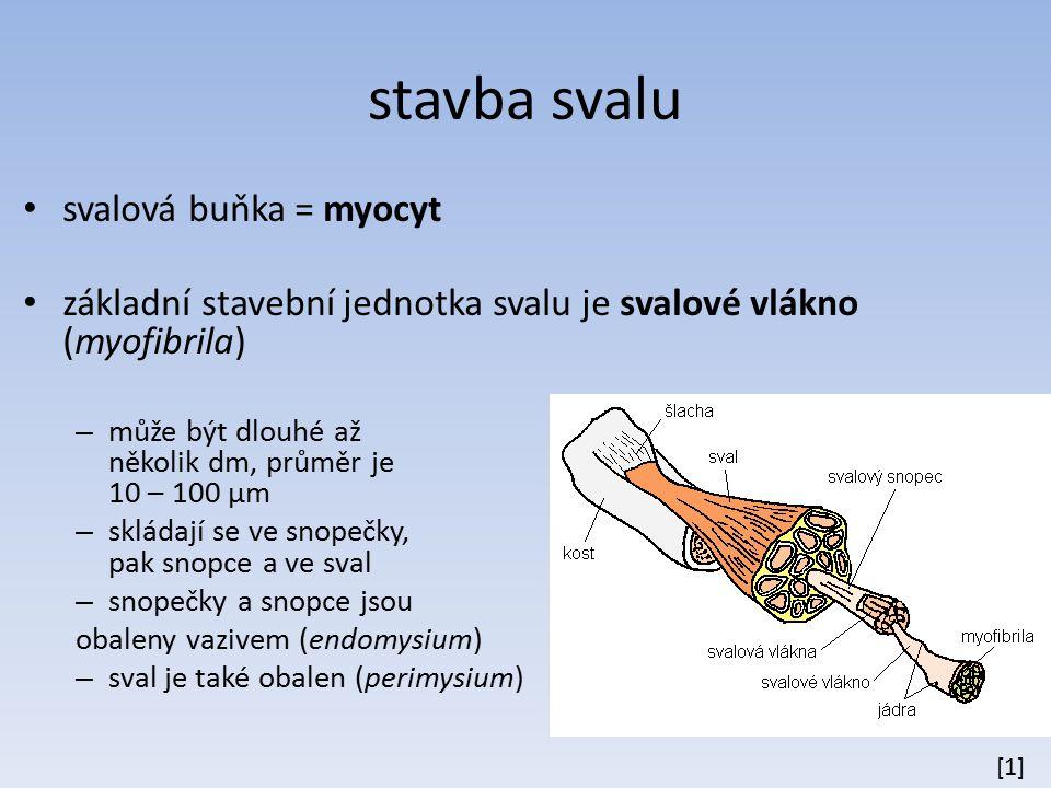 stavba svalu svalová buňka = myocyt