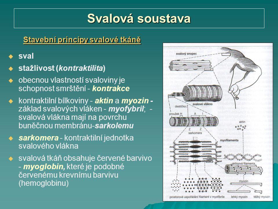 Stavební principy svalové tkáně