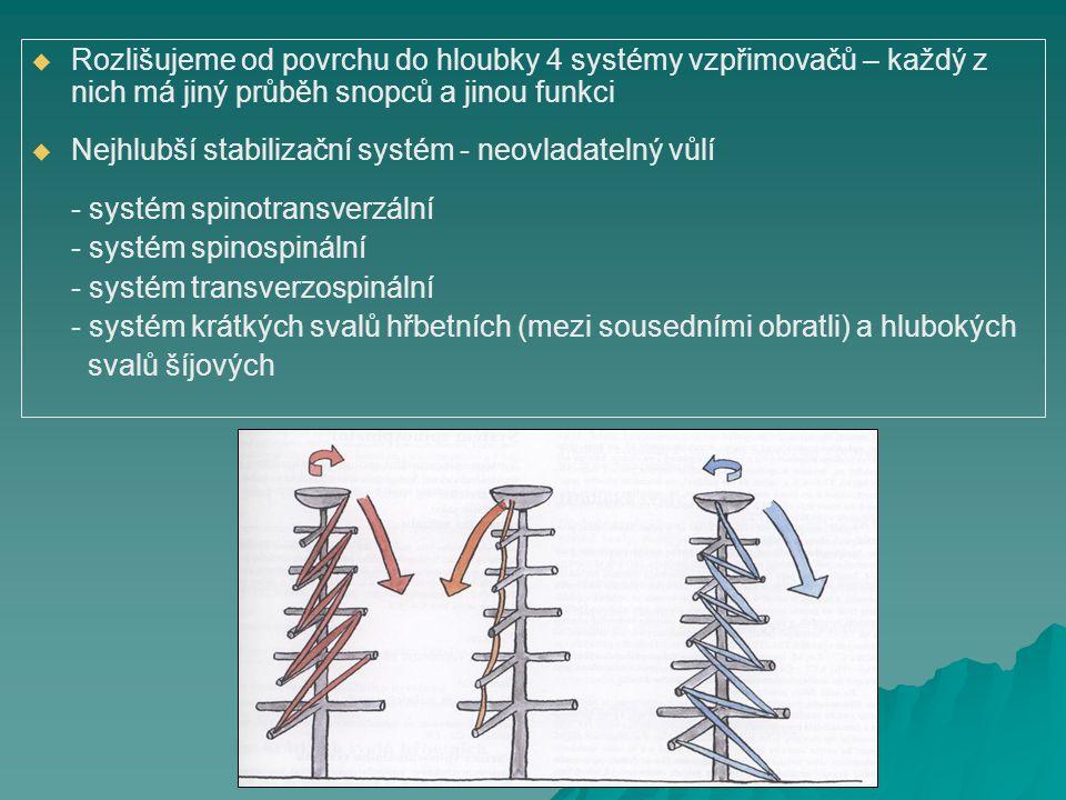 Rozlišujeme od povrchu do hloubky 4 systémy vzpřimovačů – každý z nich má jiný průběh snopců a jinou funkci