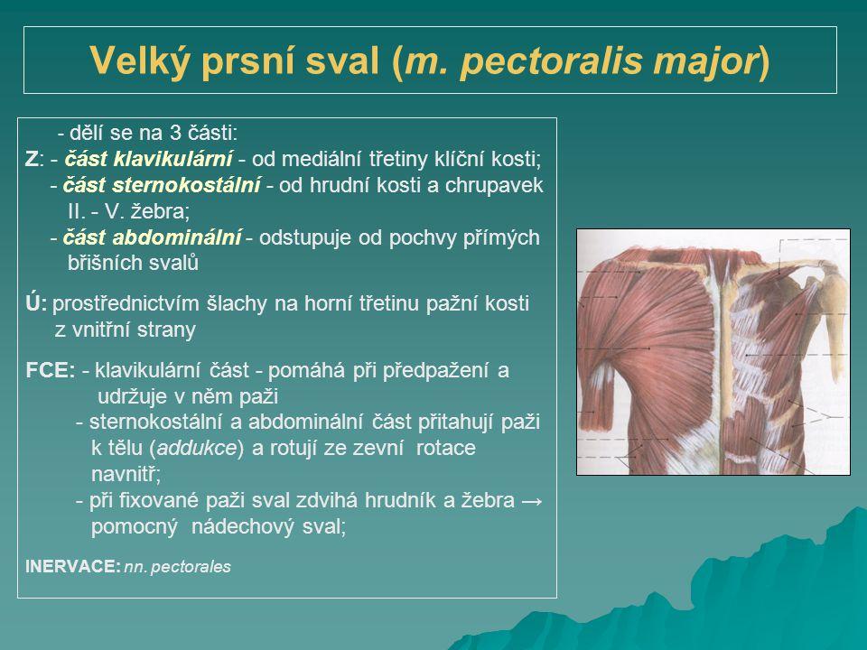 Velký prsní sval (m. pectoralis major)