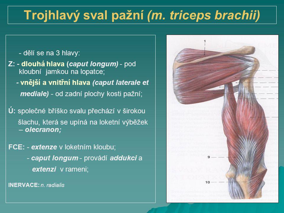 Trojhlavý sval pažní (m. triceps brachii)