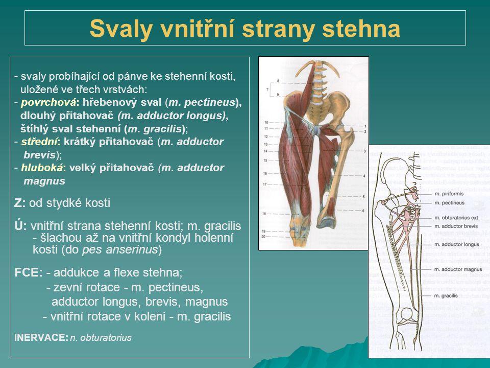 Svaly vnitřní strany stehna
