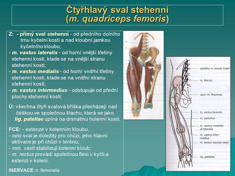 Čtyřhlavý sval stehenní (m. quadriceps femoris)