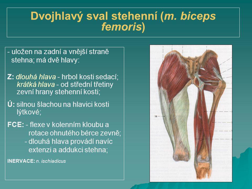 Dvojhlavý sval stehenní (m. biceps femoris)