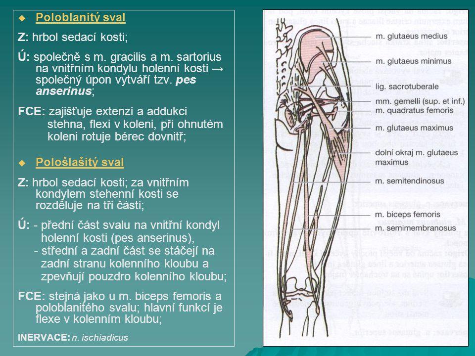 FCE: zajišťuje extenzi a addukci stehna, flexi v koleni, při ohnutém