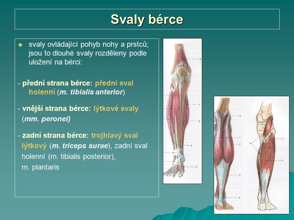 Svaly bérce svaly ovládající pohyb nohy a prstců; jsou to dlouhé svaly rozděleny podle uložení na bérci: