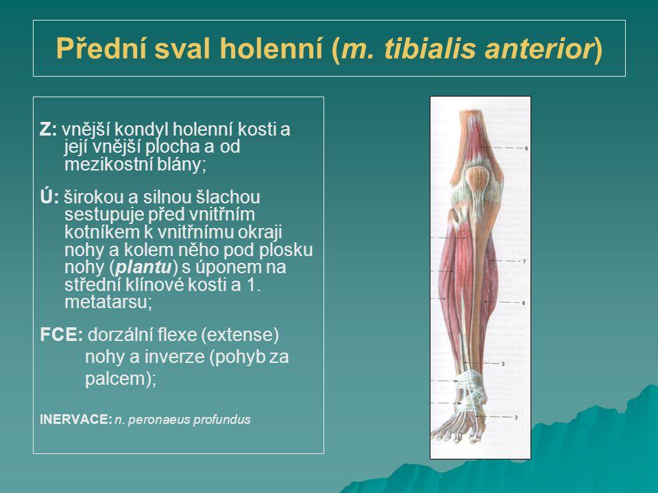 Přední sval holenní (m. tibialis anterior)