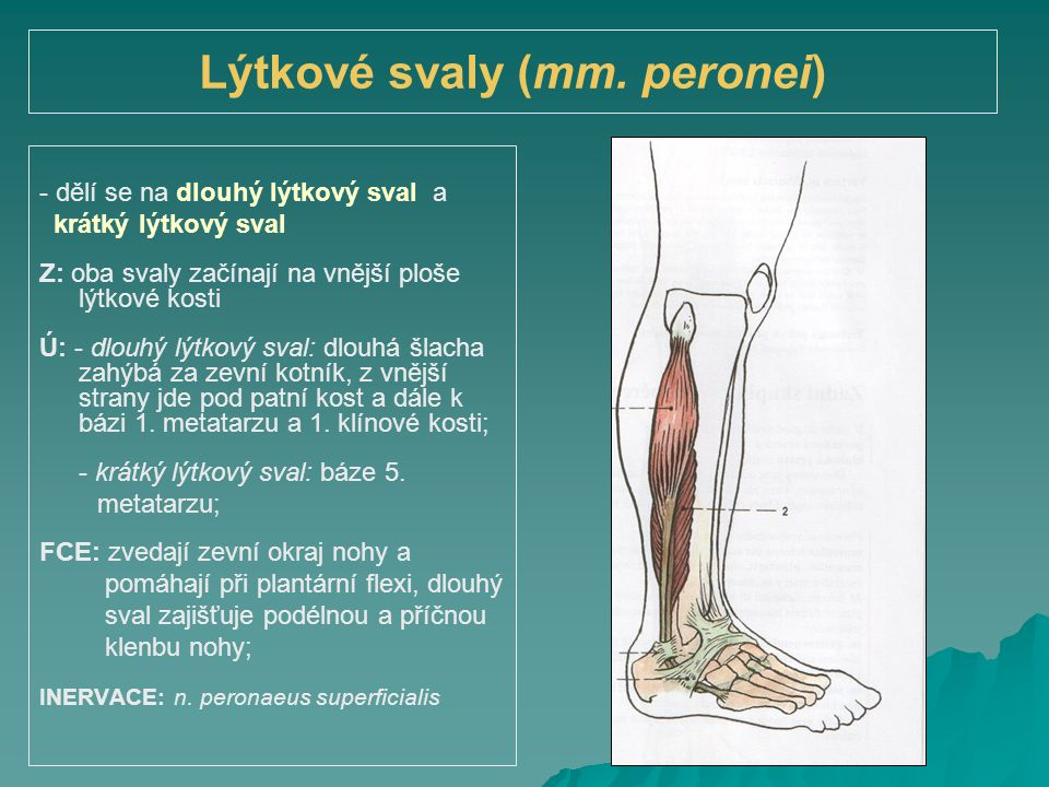 Lýtkové svaly (mm. peronei)