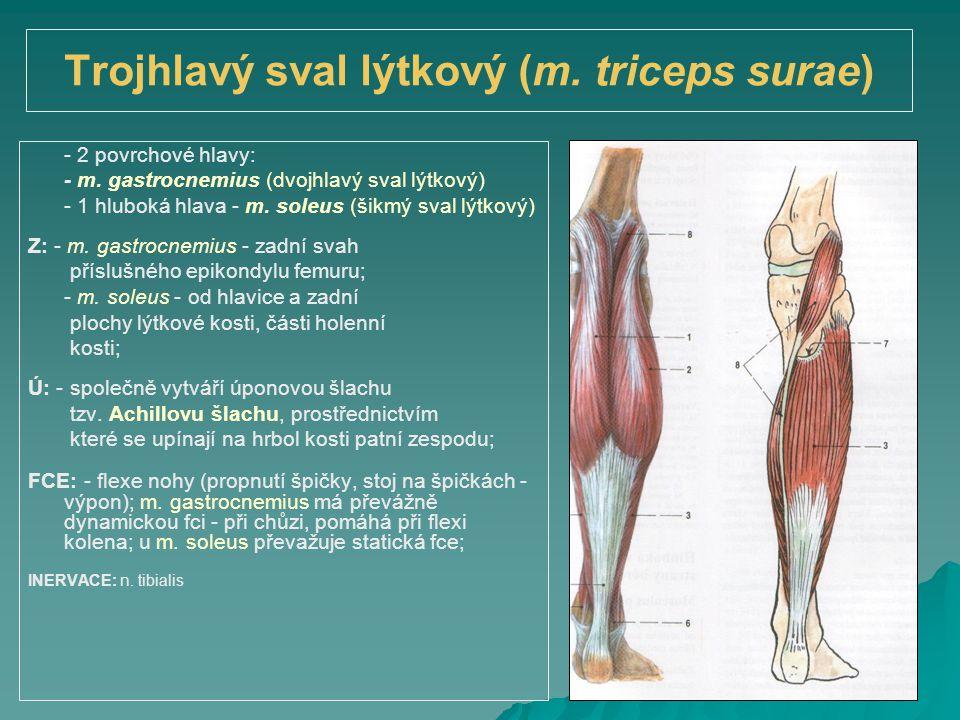 Trojhlavý sval lýtkový (m. triceps surae)