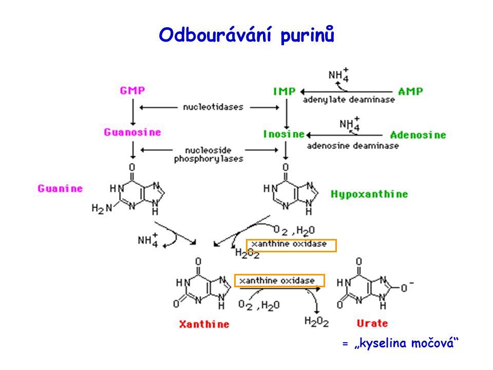 """Odbourávání purinů = """"kyselina močová"""
