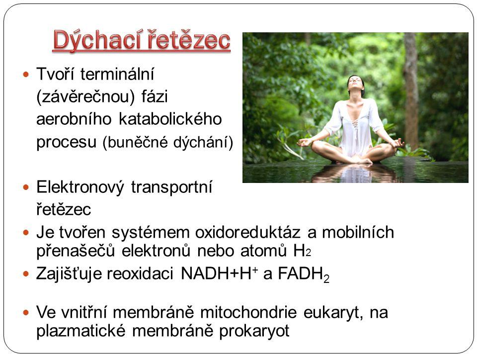 Dýchací řetězec Tvoří terminální (závěrečnou) fázi