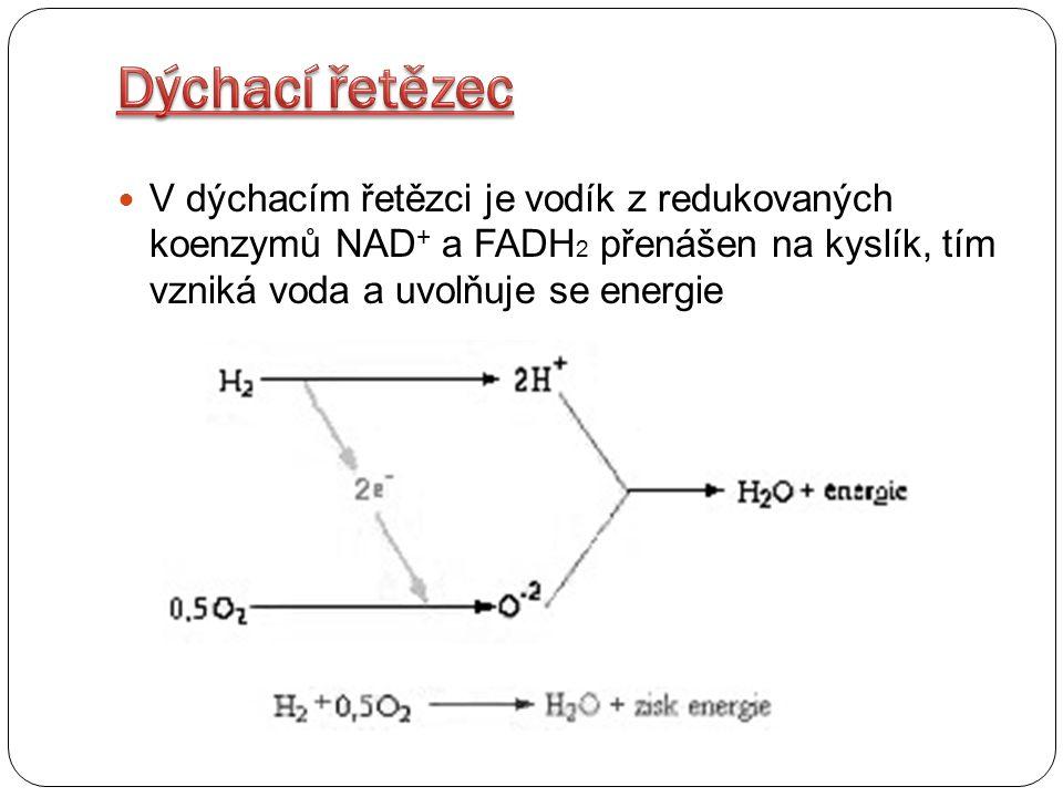 Dýchací řetězec V dýchacím řetězci je vodík z redukovaných koenzymů NAD+ a FADH2 přenášen na kyslík, tím vzniká voda a uvolňuje se energie.
