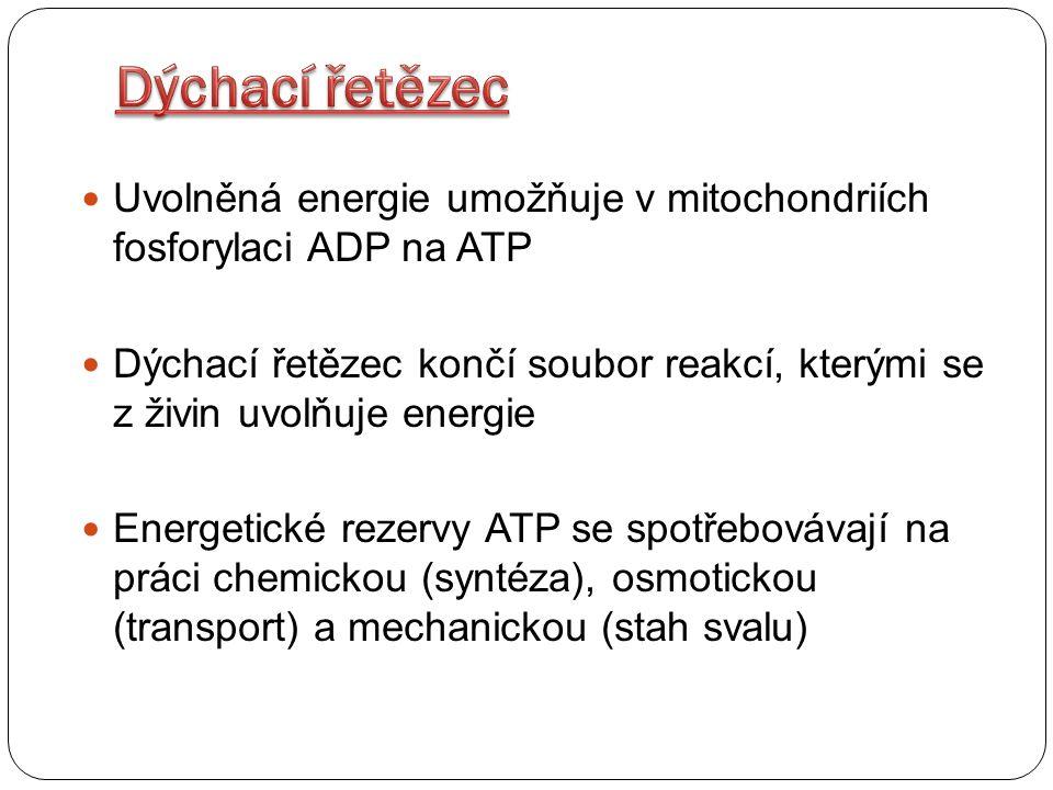 Dýchací řetězec Uvolněná energie umožňuje v mitochondriích fosforylaci ADP na ATP.