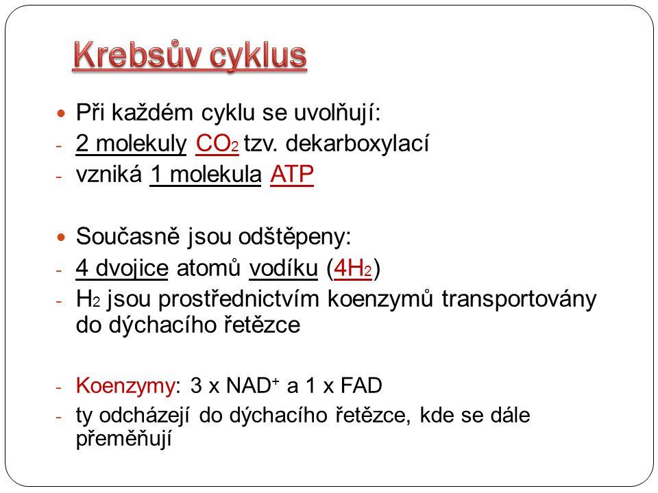 Krebsův cyklus Při každém cyklu se uvolňují: