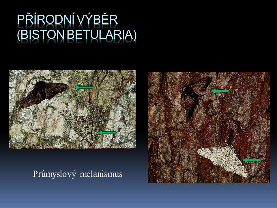 Přírodní výběr (Biston betularia)