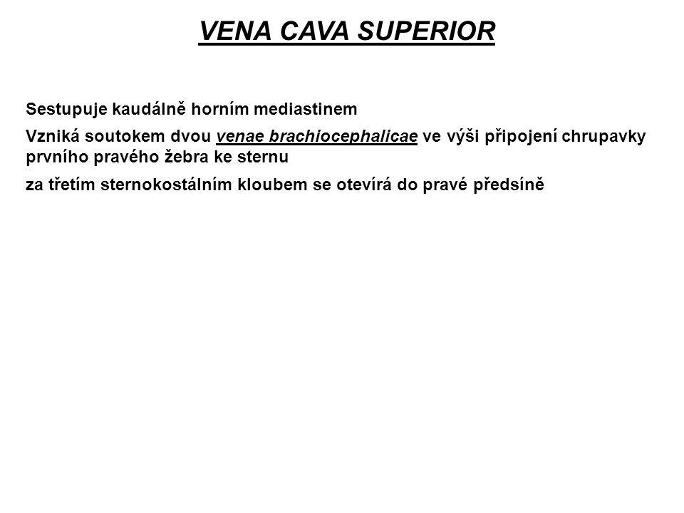 VENA CAVA SUPERIOR Sestupuje kaudálně horním mediastinem