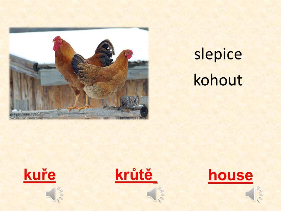 slepice kohout kuře krůtě house