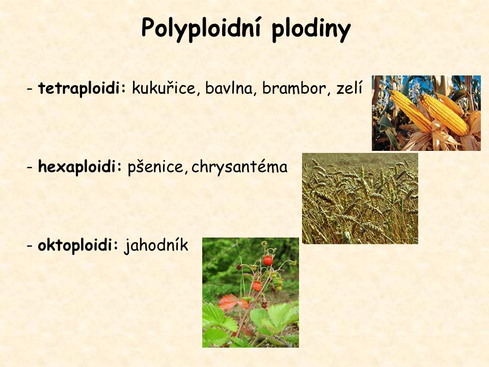 Polyploidní plodiny - tetraploidi: kukuřice, bavlna, brambor, zelí