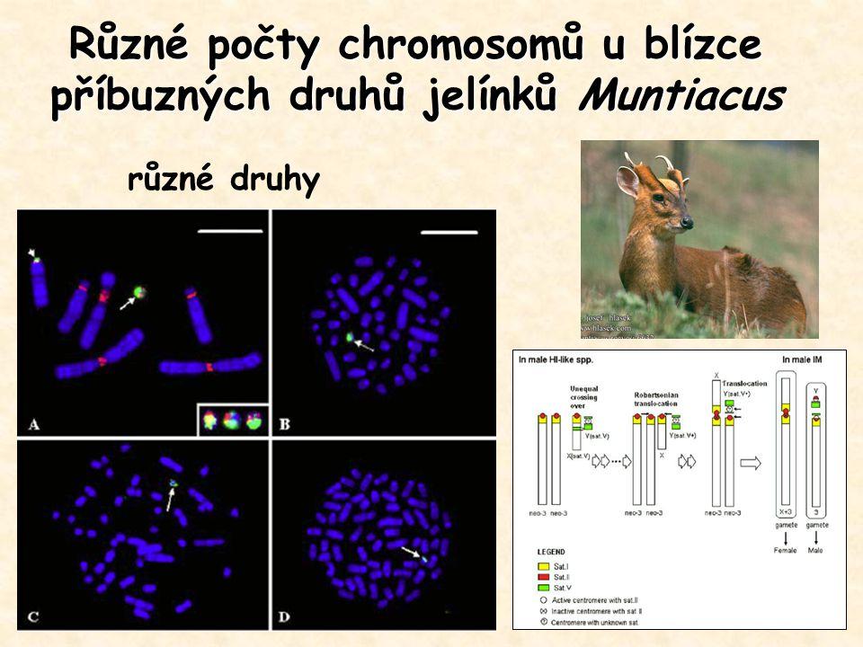 Různé počty chromosomů u blízce příbuzných druhů jelínků Muntiacus