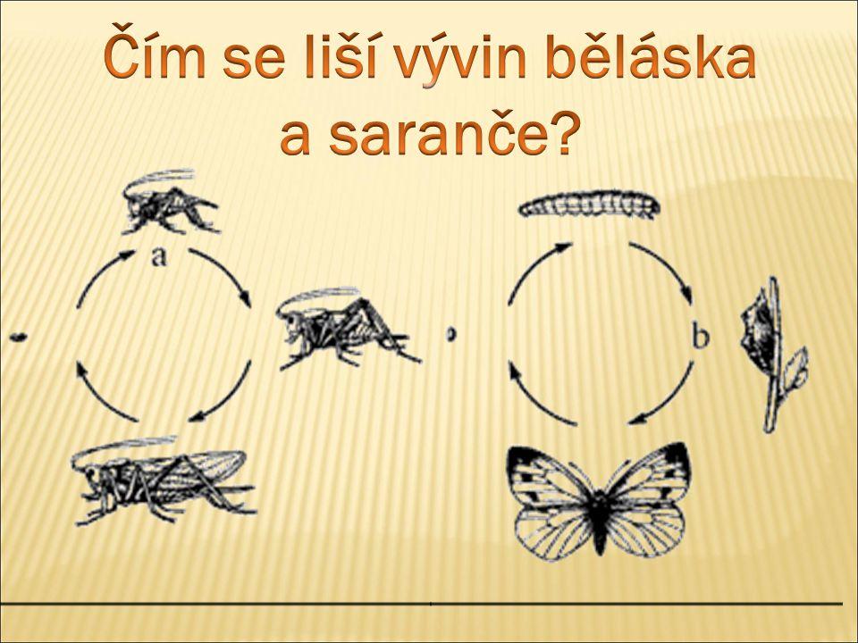 Čím se liší vývin běláska a saranče