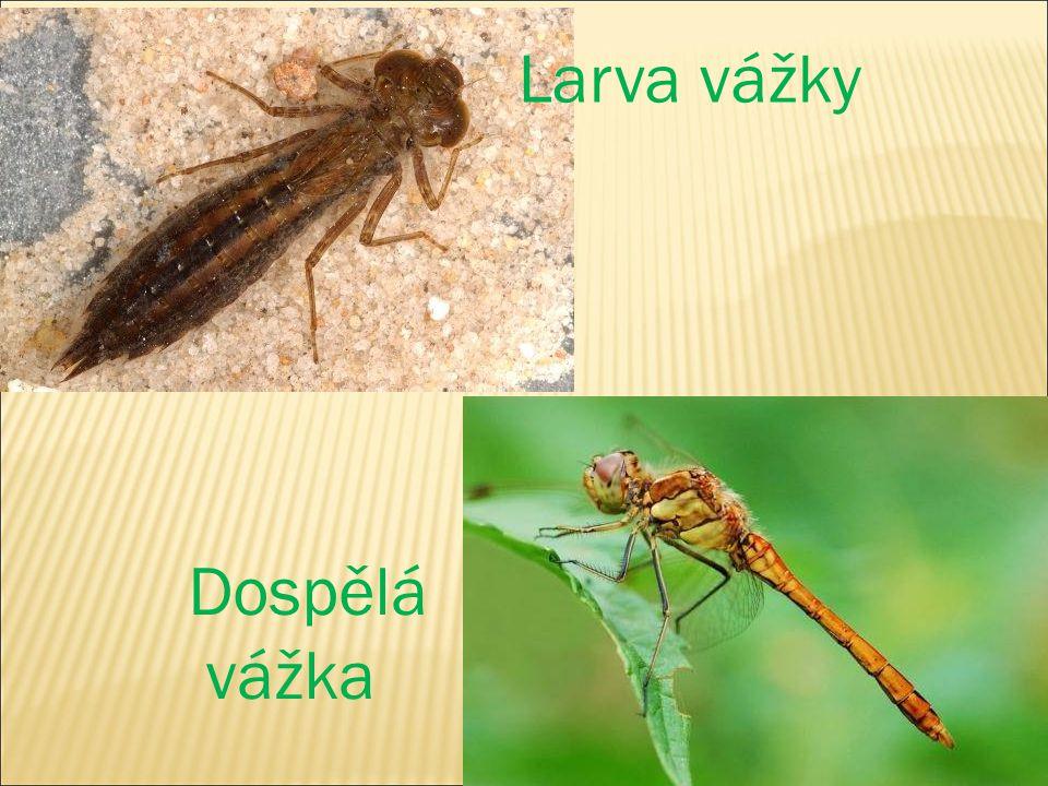 Larva vážky Dospělá vážka