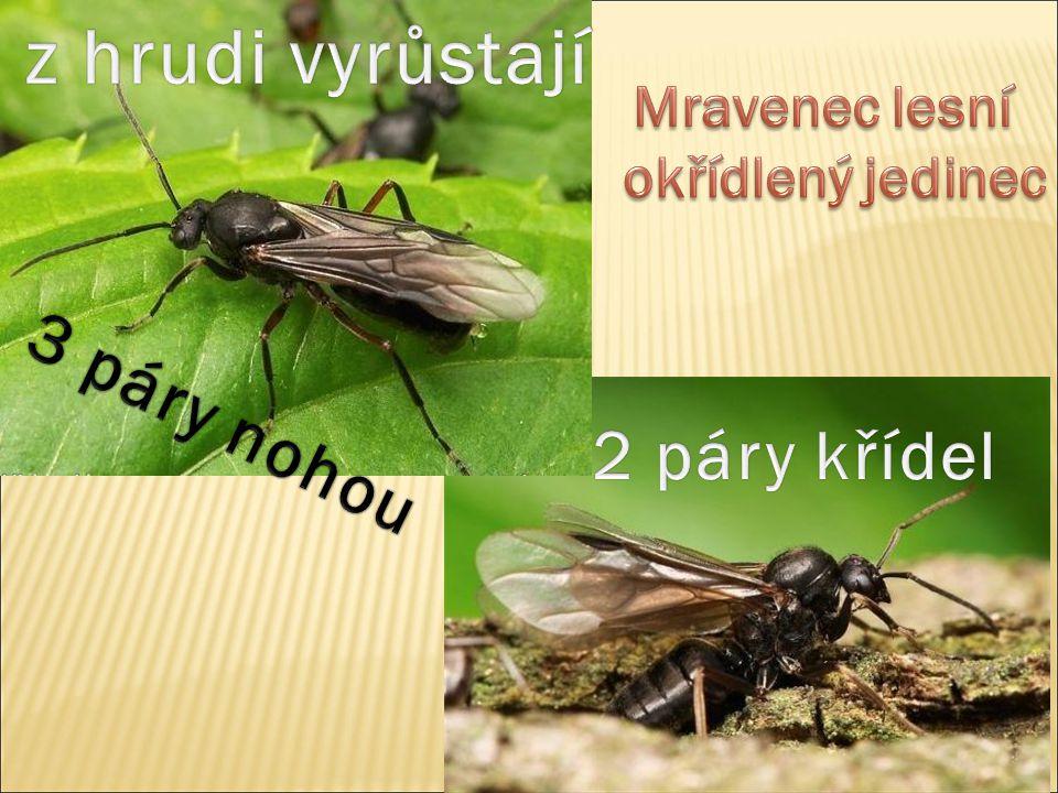 Mravenec lesní okřídlený jedinec