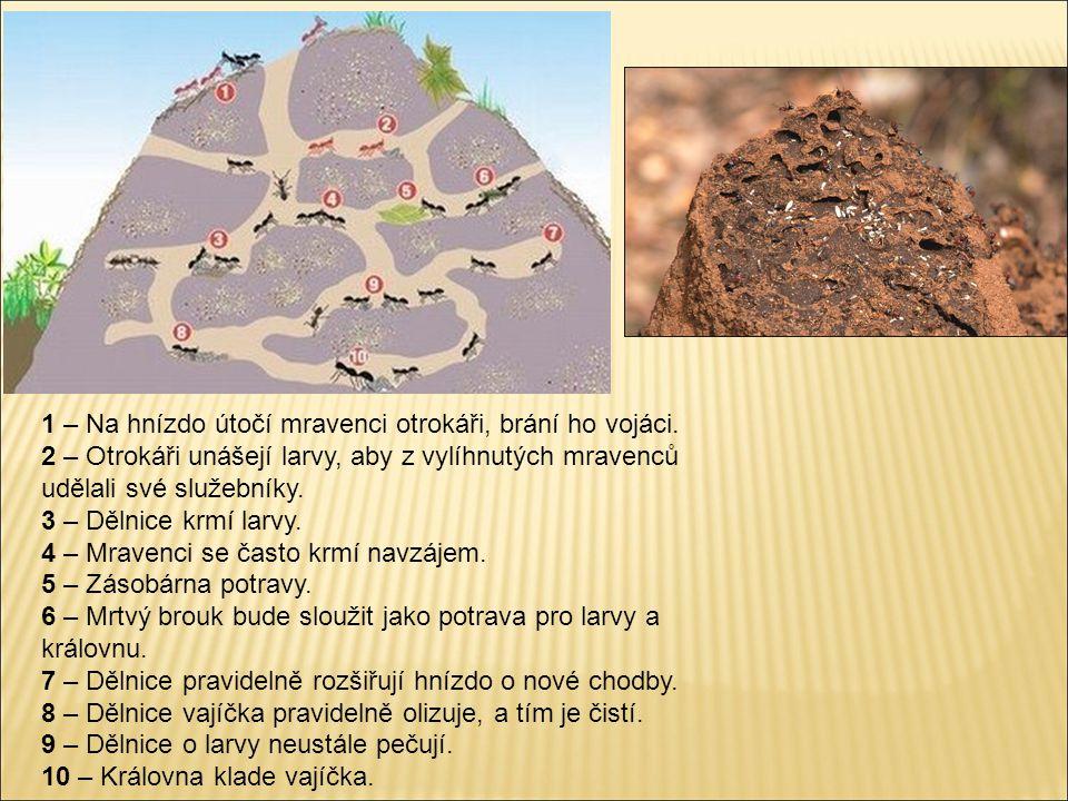 1 – Na hnízdo útočí mravenci otrokáři, brání ho vojáci