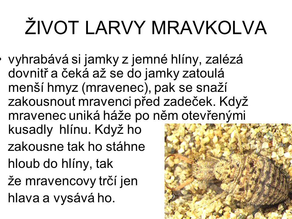 ŽIVOT LARVY MRAVKOLVA