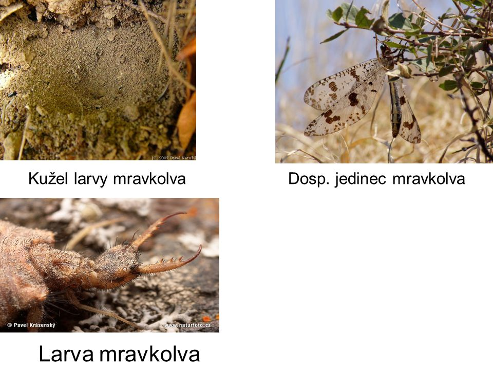 Kužel larvy mravkolva Dosp. jedinec mravkolva