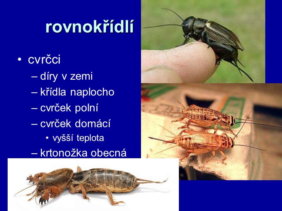 rovnokřídlí cvrčci díry v zemi křídla naplocho cvrček polní