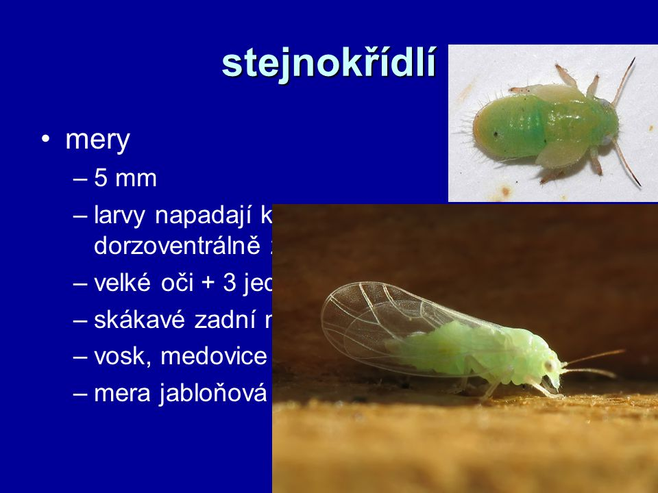 stejnokřídlí mery. 5 mm. larvy napadají květy a pupeny rostlin, dorzoventrálně zploštělé. velké oči + 3 jednoduchá očka.