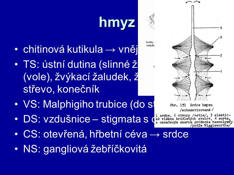 hmyz chitinová kutikula → vnější kostra