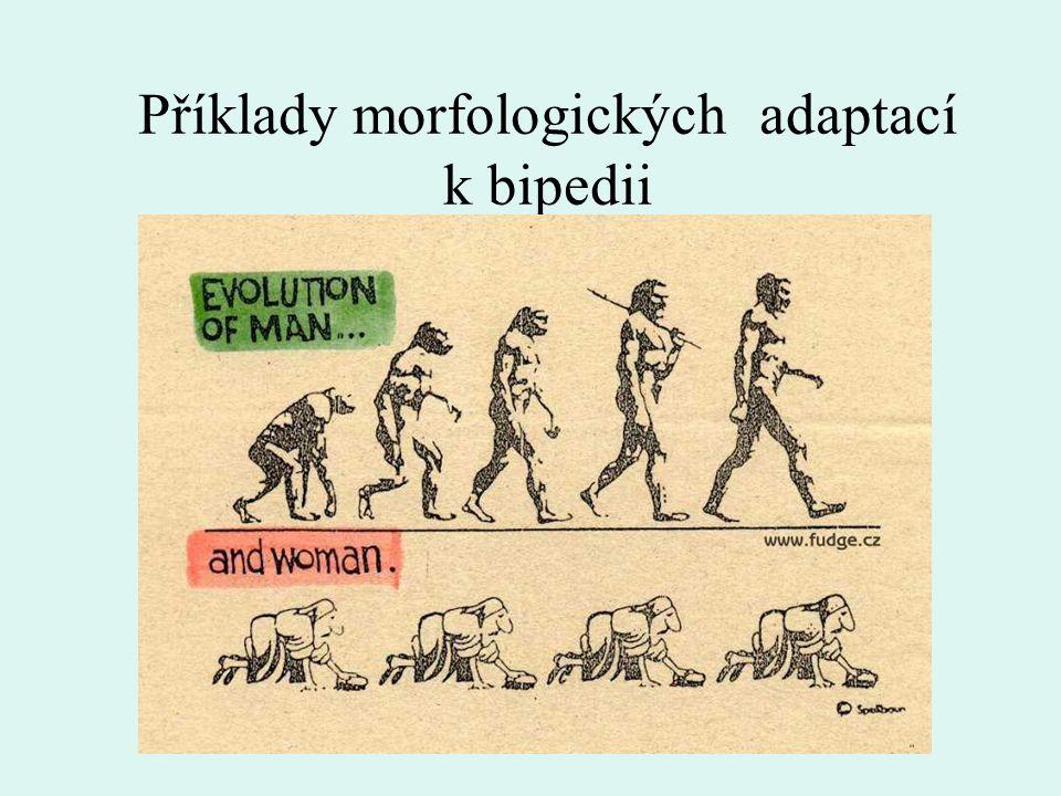 Příklady morfologických adaptací k bipedii