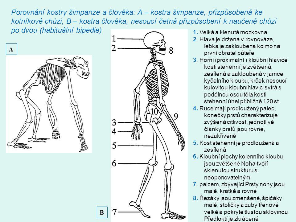 Porovnání kostry šimpanze a člověka: A – kostra šimpanze, přizpůsobená ke kotníkové chůzi, B – kostra člověka, nesoucí četná přizpůsobení k naučené chůzi po dvou (habituální bipedie)
