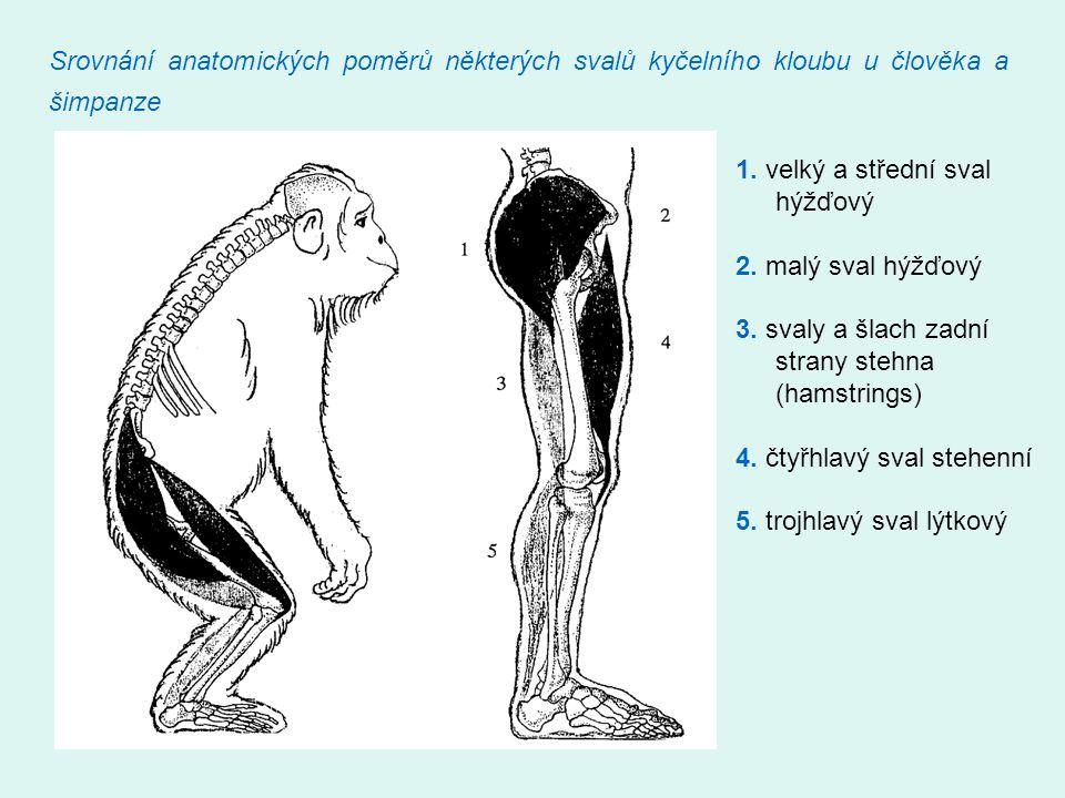 Srovnání anatomických poměrů některých svalů kyčelního kloubu u člověka a šimpanze