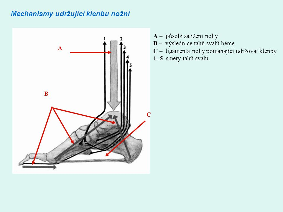 Mechanismy udržující klenbu nožní