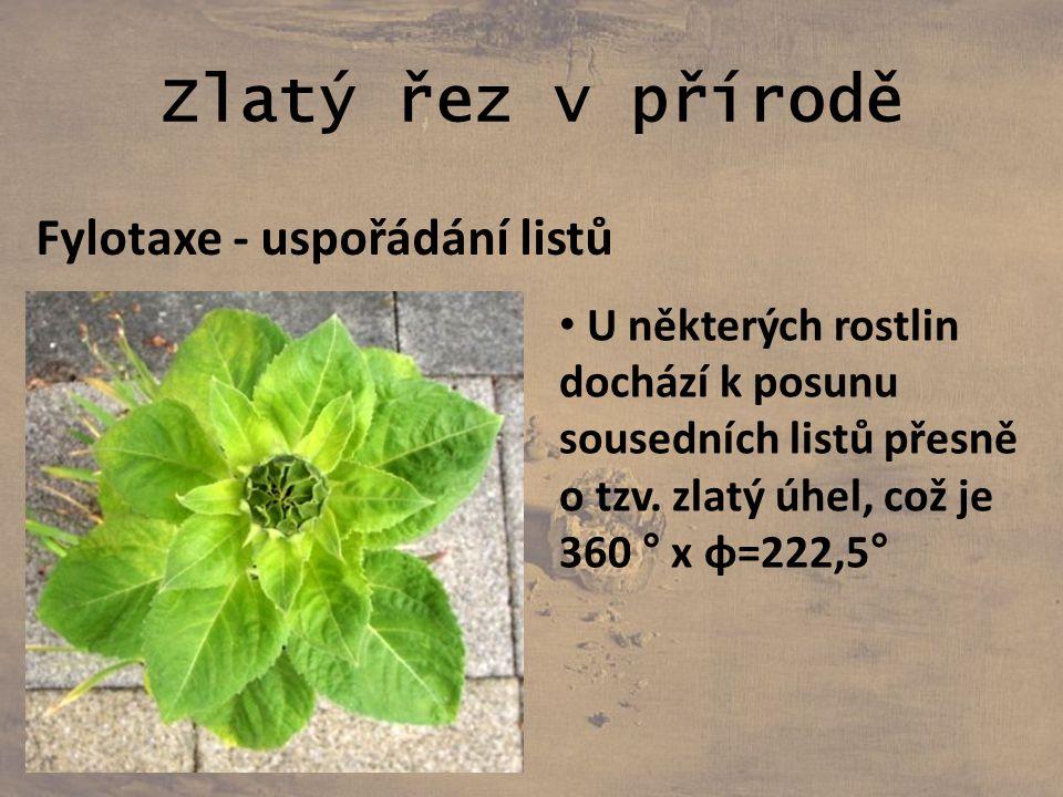 Zlatý řez v přírodě Fylotaxe - uspořádání listů