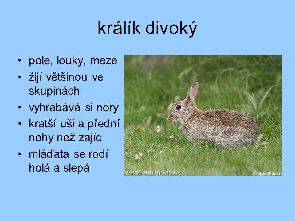 králík divoký pole, louky, meze žijí většinou ve skupinách