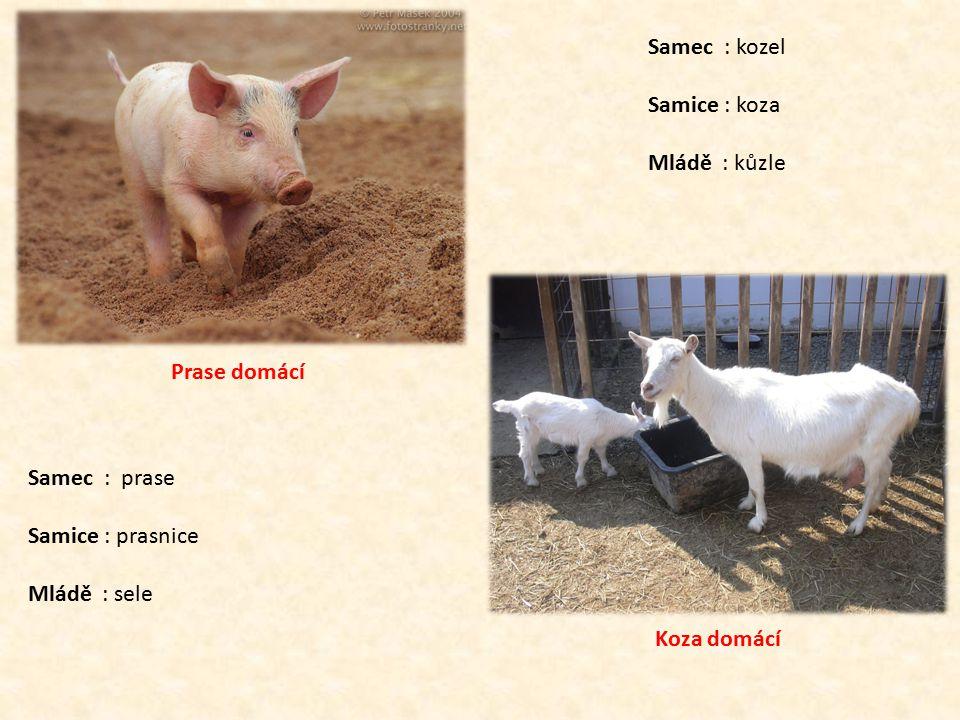 Prase domácí Samec : prase. Samice : prasnice. Mládě : sele. Koza domácí. Samec : kozel. Samice : koza.