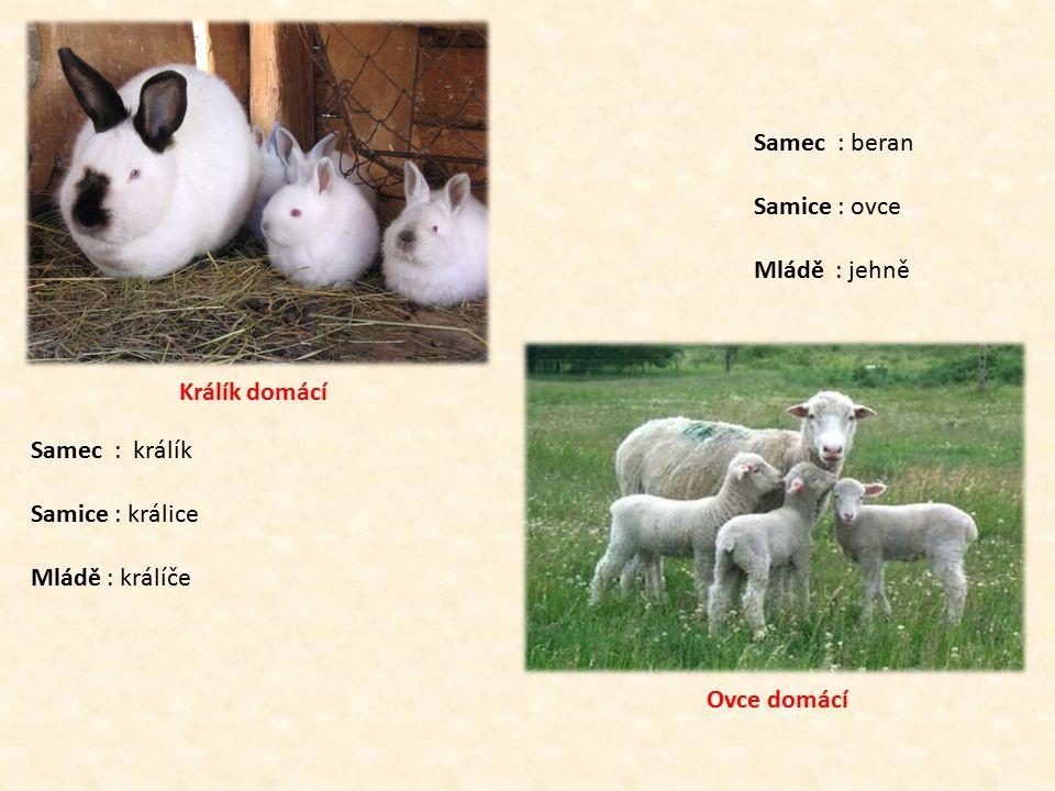 Králík domácí Samec : králík. Samice : králice. Mládě : králíče. Ovce domácí. Samec : beran.
