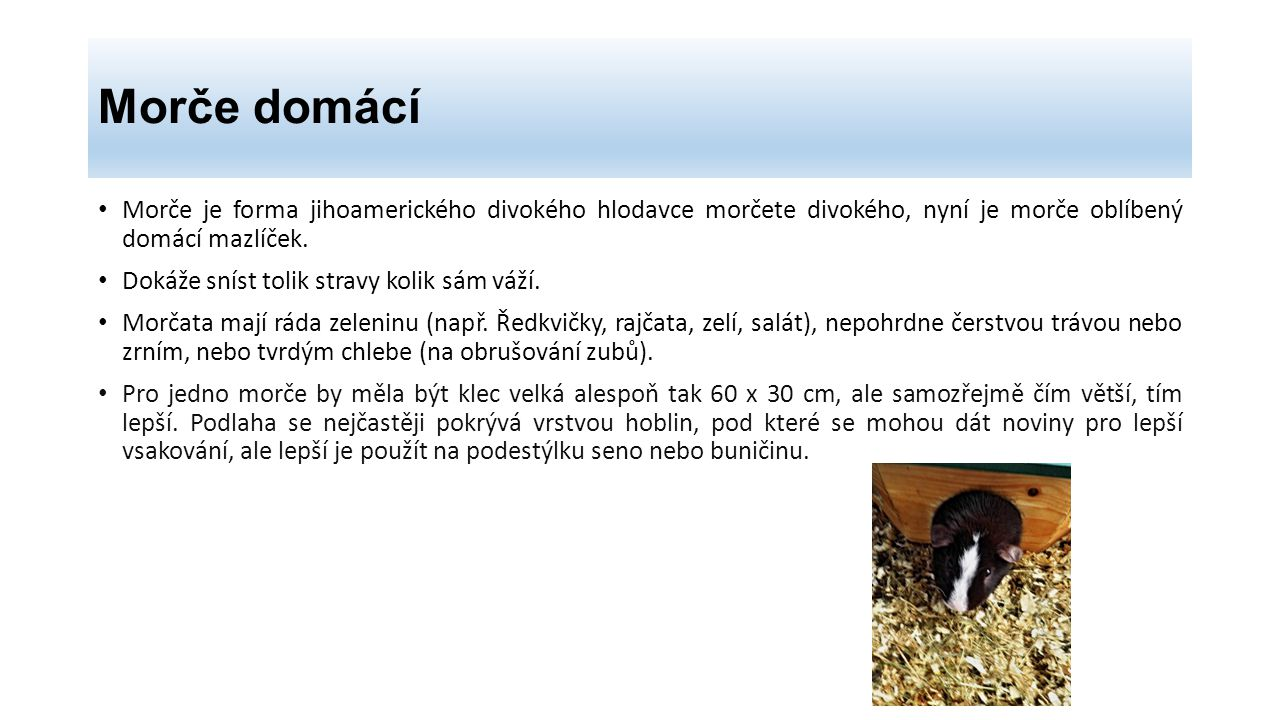 Morče domácí Morče je forma jihoamerického divokého hlodavce morčete divokého, nyní je morče oblíbený domácí mazlíček.