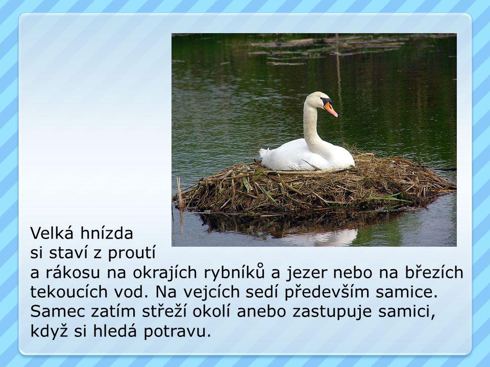 Velká hnízda si staví z proutí. a rákosu na okrajích rybníků a jezer nebo na březích. tekoucích vod. Na vejcích sedí především samice.