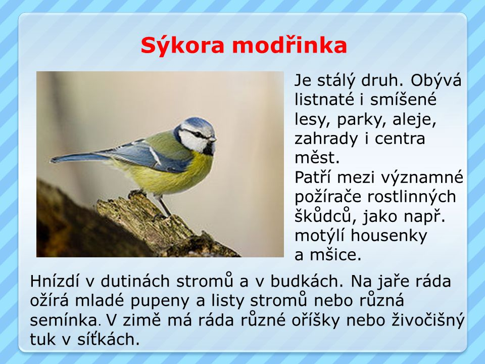 Sýkora modřinka Je stálý druh. Obývá listnaté i smíšené