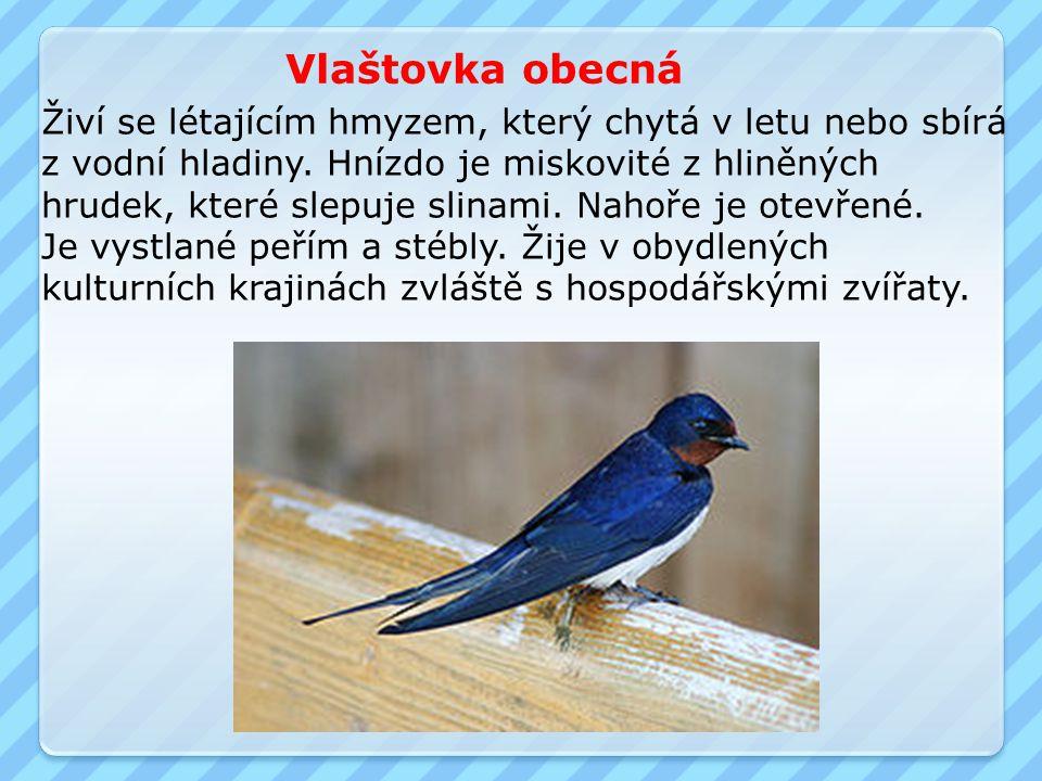 Vlaštovka obecná Živí se létajícím hmyzem, který chytá v letu nebo sbírá. z vodní hladiny. Hnízdo je miskovité z hliněných.