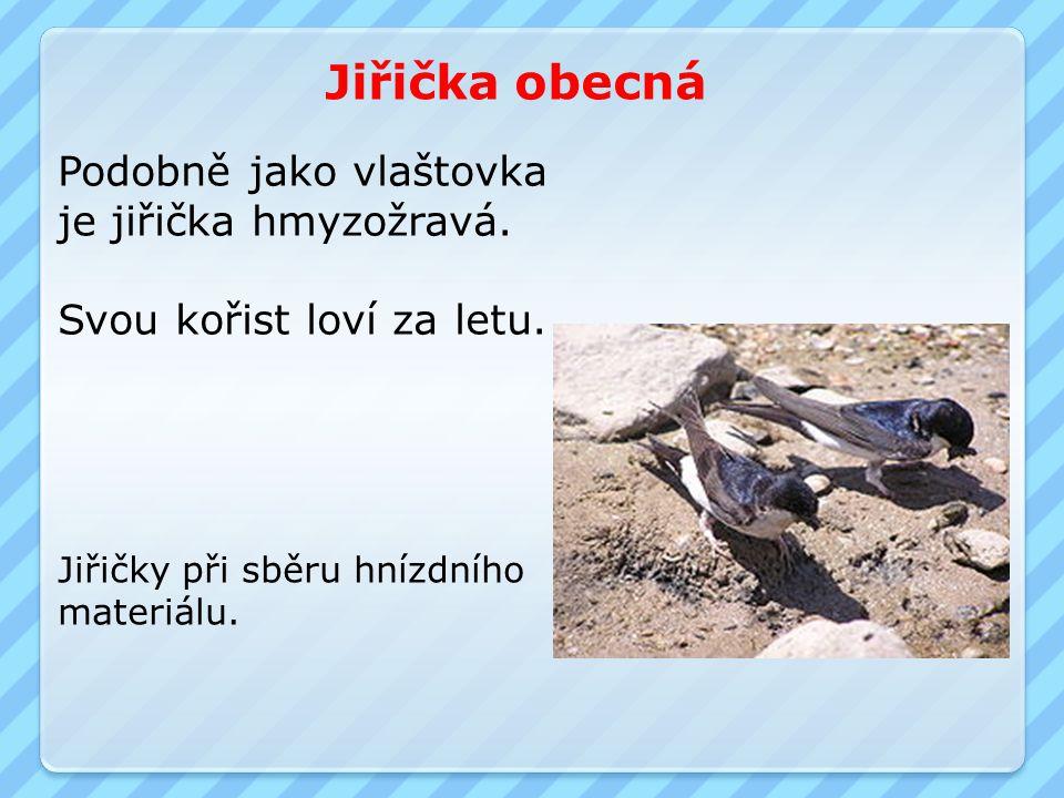 Jiřička obecná Podobně jako vlaštovka je jiřička hmyzožravá.