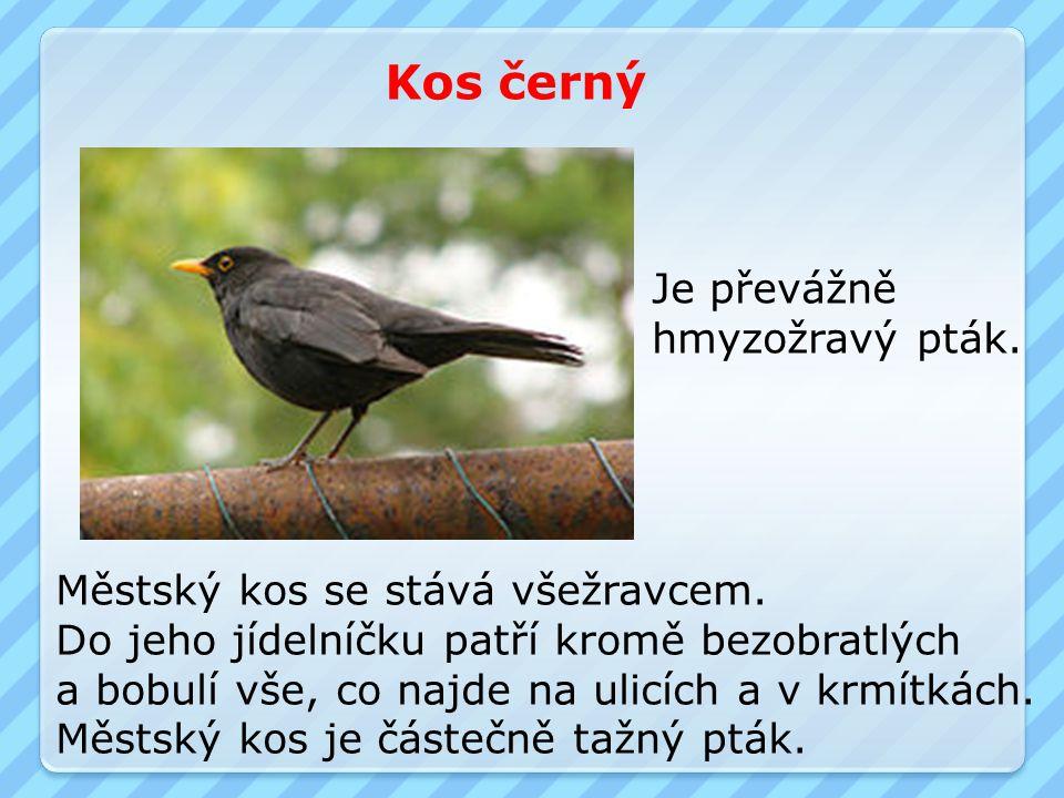 Kos černý Je převážně hmyzožravý pták.